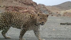 حمله پلنگ به شهروند تایبادی