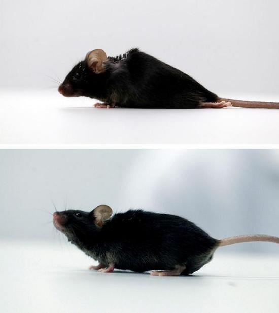 موش فلجی که قادر به راه رفتن شد!