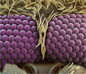 تصویری زیبا از چشم های پشه زیر میکروسکوپ!