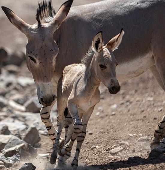 متولد شدن حیوانِ در معرض خطر انقراض