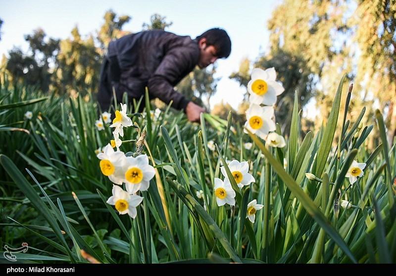 عکس/ برداشت گل نرگس در بهبهان