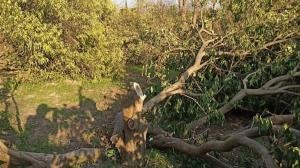 واقعیتهایی از کلیپ جنجالی قطع درختان مرکبات
