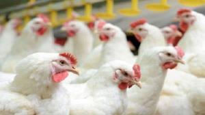 تشدید برخورد با عرضهکنندگان مرغ زنده در سقز