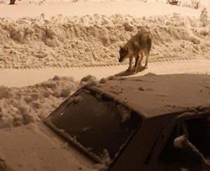 گرگها مراجعان به بیمارستان امام حسن(ع) بجنورد را وحشتزده کردند