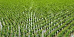کمیسیون تلفیق ممنوعیت کشت برنج را لغو کرد