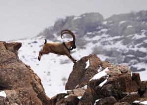 شکارچیان قوچ وحشی در همدان دستگیر شدند