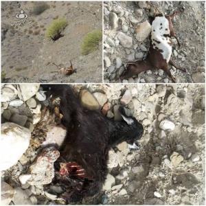 حمله یوزپلنگ به گله گوسفندان در آرنگوی سندرک؛ ۱۲ رأس گوسفند تلف شد