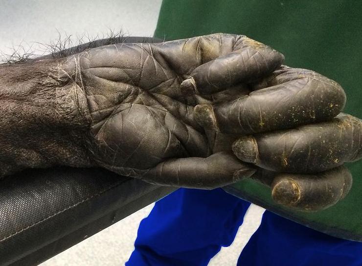 دست یک شامپانزه 40 ساله از نمایی نزدیک!