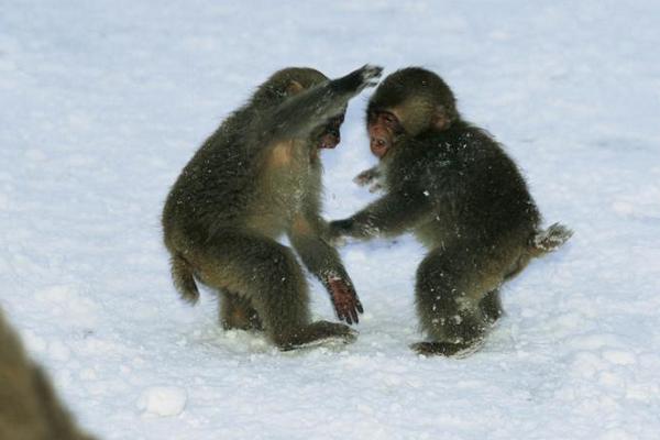 بازیگوشی بچه میمونها در برف