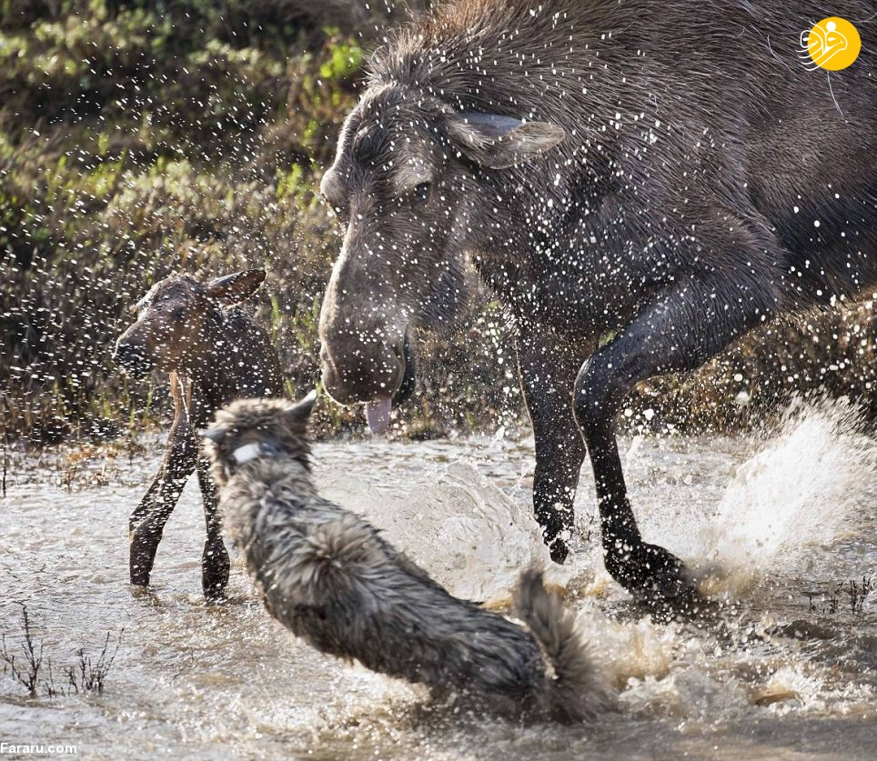 حمله ناکام گرگ ها در شکار بچه موس
