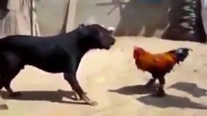 درگیری عجیب سگ با خروس