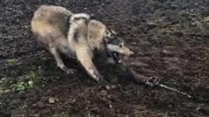 نجات مرد روستایی از محاصره گرگها