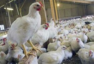 مرغداران: قیمت مصوب را افزایش دهید