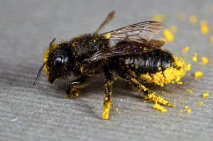 یک چهارم گونههای زنبور نایاب شدهاند