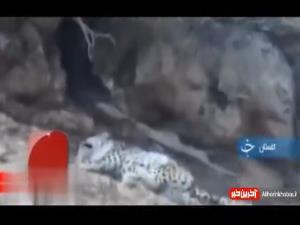 شکار تصویر پلنگِ در حال استراحت در پارک ملی گلستان