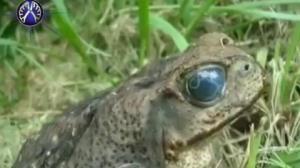 وجود انگل در چشم قورباغه