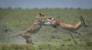لحظه نفسگیرِ شکار غزال تیزپا توسط یوزپلنگ!