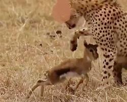 صحنه ای دلخراش از فریادهای بچه غزال زیر دندان های چیتا