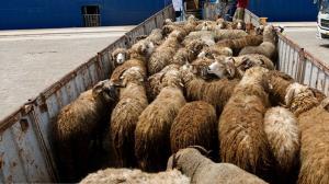 جریمه یک میلیاردی برای قاچاق دام در لارستان