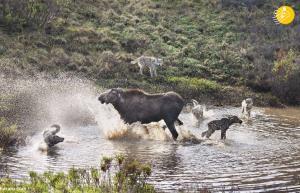 حمله ناکام گرگها به بچه موس