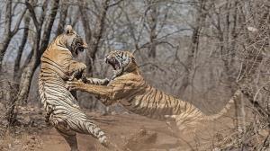 حمله ناگهانی ببرها به یکدیگر در مقابل گردشگران