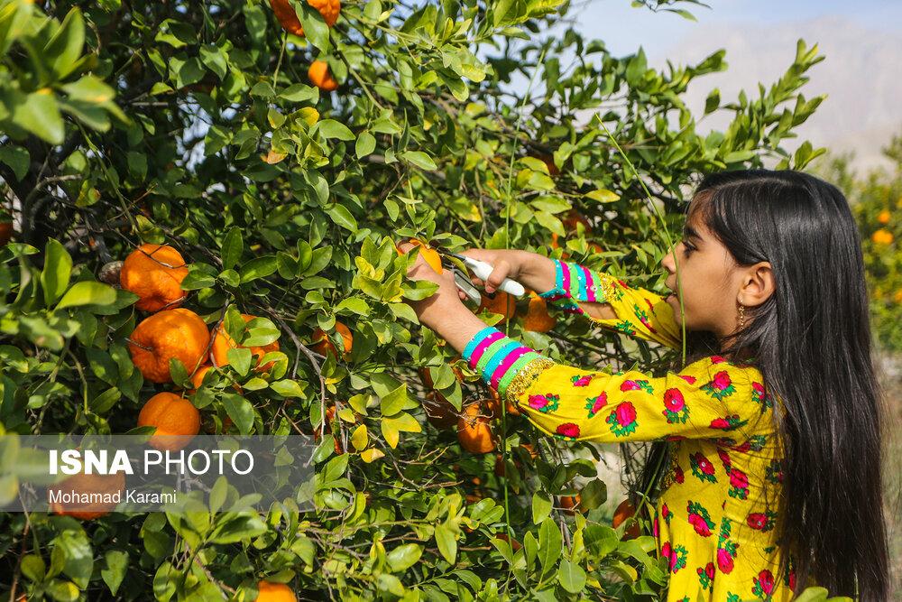 عکس/ برداشت نارنگی از باغات «سیاهو» در هرمزگان