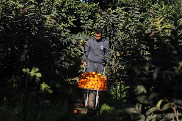 برداشت پرتقال در غزه