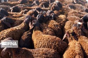 ۸۰ راس دام قاچاق در گیلانغرب کشف شد