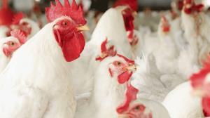کشف بیش از هزار قطعه مرغ گوشتی قاچاق در بافق