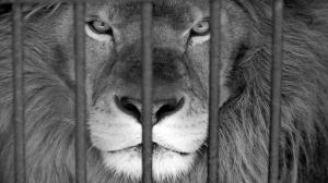 عاقبت بالا رفتن از دیوار محل نگهداری شیرها در باغ وحش