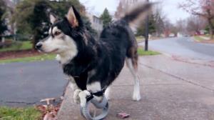 مراقبت از سگ های معلول