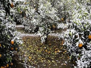 برف و یخبندان آسیبی به باغات مازندران وارد نکرد