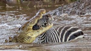 شکستن گردن گورخر توسط تمساح