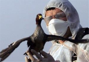 آنفلوانزای پرندگان در مرغداریها و حیات وحش قزوین مشاهده نشده است
