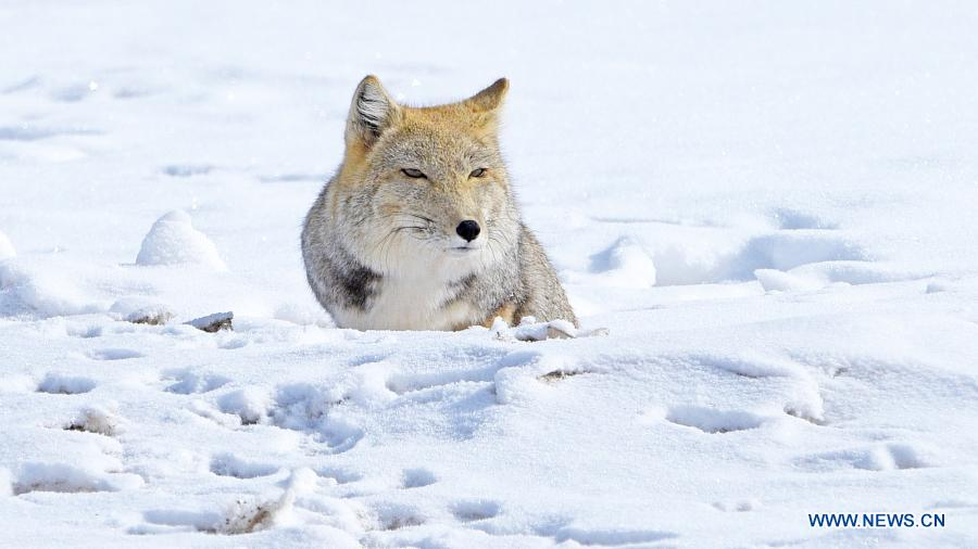 حال و هوای یک روباه در برف سنگین