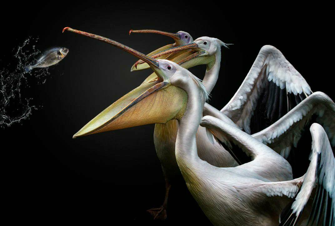 تصویری جالب از شکار ماهی توسط پلیکان