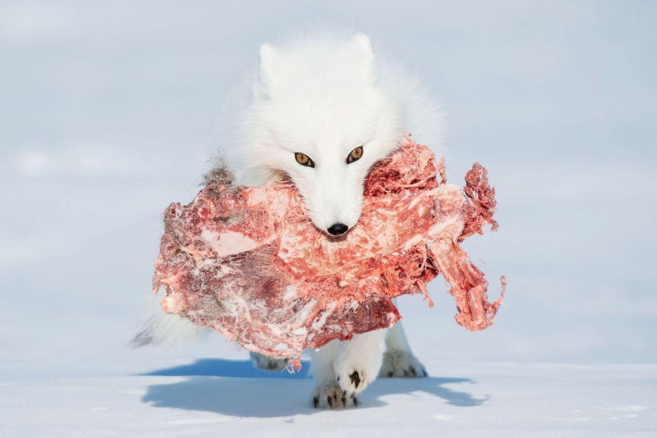 تصویر جالبی از یک گرگ پس از شکار
