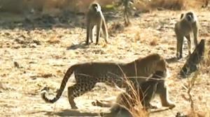 سر و صدای عجیب میمونها برای فراری دادن پلنگ