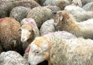 کشف ۲۳۱ راس گوسفند سرقتی در تبریز و عجبشیر