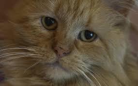 گربه ای که میخواست از شیر، آب بخوره اما ناکام موند