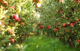 شیوه بسیار جالب و مکانیزه برداشت محصول از درخت