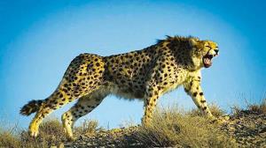 فرار ناباورانه پلنگ در رویارویی با یوزپلنگ خشمگین