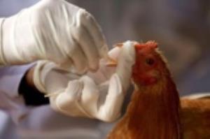 نخستین مورد آنفلوآنزای فوقحاد پرندگان در خوزستان مشاهده شد