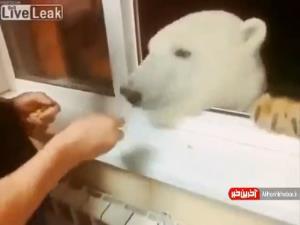 غذا دادن به خرس قطبی در روسیه