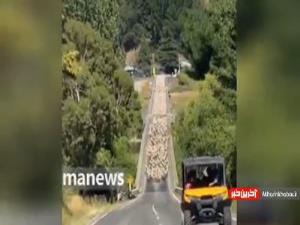 گله گوسفند در نیوزیلند جاده رو بست!