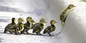 نجات بچه اردک و برگرداندنش به آغوش خانواده