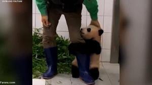 علاقه عجیب بچه پاندا به نگهبان باغ وحش!