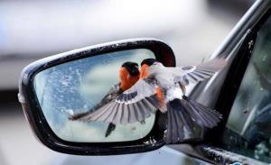 پرنده ای که عاشق تصویر خودش شد!