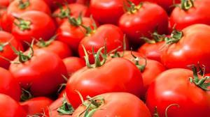 واکنش کشاورزان مینابی به کاهش قیمت گوجه