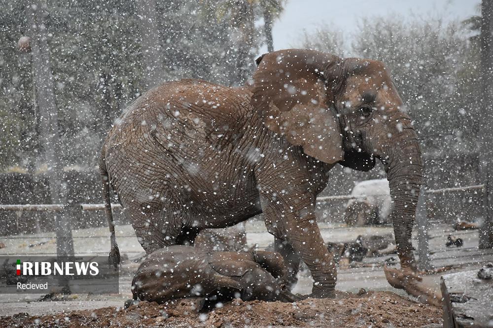 فیل زیر بارش برف